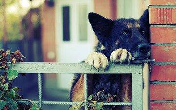 забор, когти, немецкая овчарка, ограда