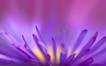 цветок, фиолетовый, хрупкий