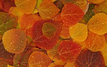 leaves, drops, autumn