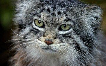 кот, хищник, манул, палласов