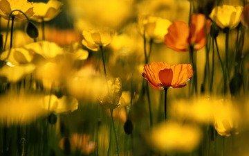 цветы, желтый, лепестки, маки, размытость, цветком