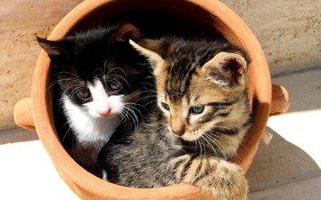 kittens, pot