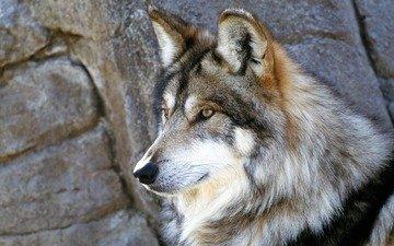 камни, серый, волк