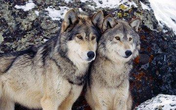 зима, пара, волки