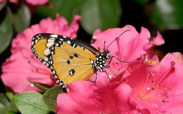 цветок, бабочка, лепесток, нектар