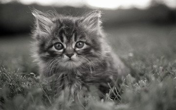 трава, котенок, серый, задумчивые глаза