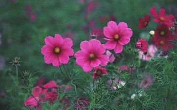 цветы, трава, поле, лето, розовые, яркие