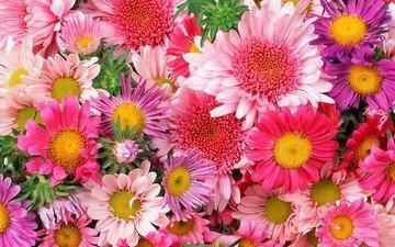 ромашка, букет, розовый, хризантема