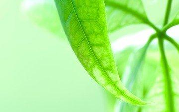 зелень, листок, макросьемка