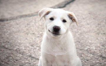 собака, щенок, щенка, лабрадор