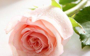 цветок, роза, нежность, шипы