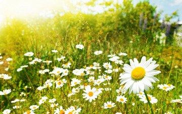 цветы, обои, растения, макро фото, поле, ромашка, ромашки