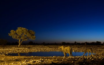 ночь, слон, жираф, водопой