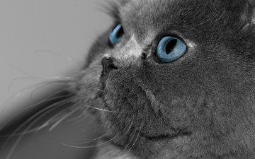 глаза, кот, кошка, взгляд, серый, голубые