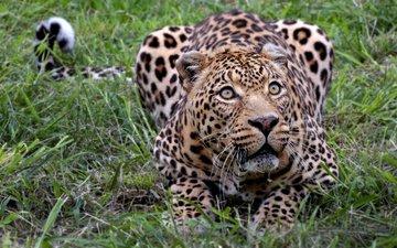 леопард, африка, киса