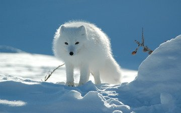 nature, wallpaper, tundra, fox