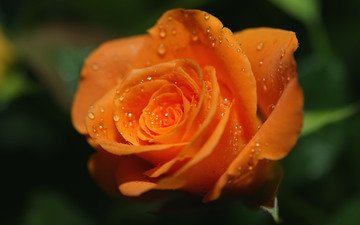 роса, роза, оранжевая, яркая. капли