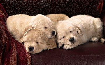 спят, щенки, кожа, диван, порода, лабрадор, текстиль, сони
