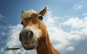 глаза, лошадь, трава, фото, животные, колосья, колоски, лошади, кони, пастбище, конь, колосок, животно е