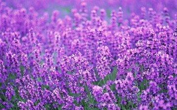 цветы, поле, лаванда, лето, весна, лиловый