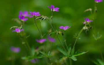 лето, зеленый фон, лиловые цветы