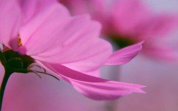 wallpaper for desktop, petals, pink, macro flowers, gentle background