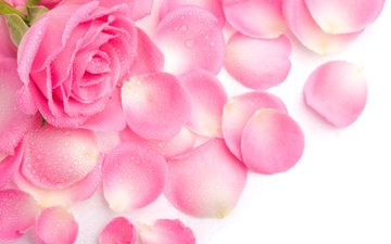 роса, роза, лепестки, розовая