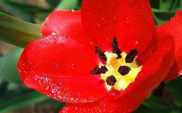 красный, тюльпан, большой