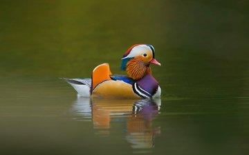 птичка, утка, плавает