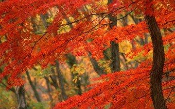 дерево, осень, япония