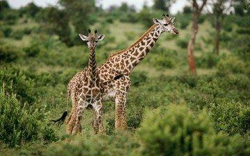трава, зелёный, жирафы