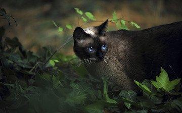 животные, кот, сиамский