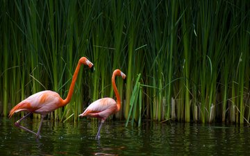 озеро, фламинго, птицы, калифорния, тростник, sacramento zoo
