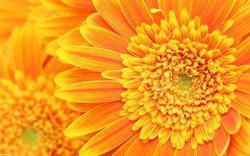 petals, stamens, orange, pistils
