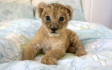 котенок, хищник, дикие кошки, малыш, львёнок, детеныш