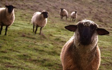 взгляд, луг, овцы