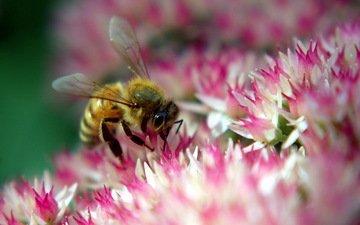 цветок, розовый, пчела