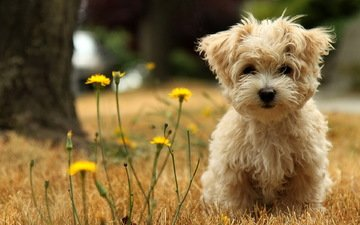 dog, puppy, walk, dandelion, dandelions, lapdog, the west highland white terrier, malaysian terrier