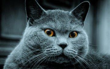 кот, серый, кого-то, увидел
