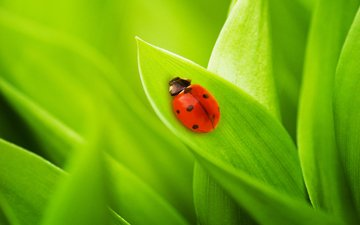 grass, nature, leaves, photo, ladybug, macro wallpaper, bugs, green grass