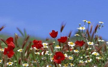 небо, цветы, трава, лето, маки, колосья, ромашки