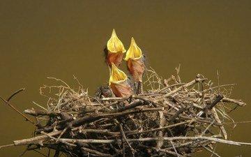 птенцы, гнездо, голод