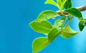 ветка, дерево, капли, росток