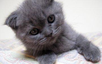 нежность, котята, детство, вислоухие