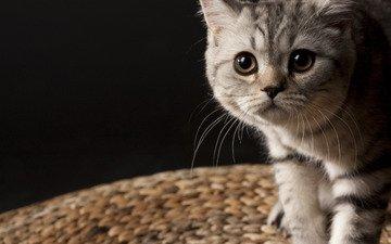 усы, котенок, полосатый, маленьки, британец
