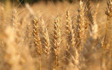 природа, макро, поле, пейзажи, fields, nature walls, макро фото пшеницы