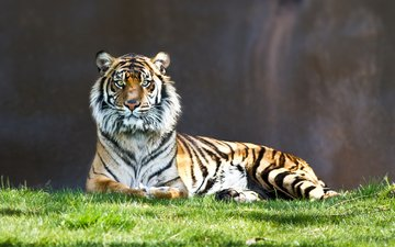 тигр, взгляд, полосатый, киса