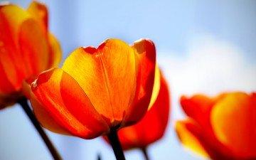 красный, тюльпаны