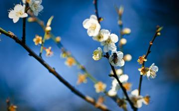 цветок, весна, яблоня, пчела, мед