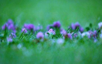 clover, green